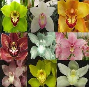 Assorted-Cymbidium - Kopia