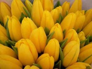 tulipan-tulipany